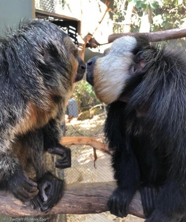 피닉스 동물원의 흰얼굴 사키 원숭이 펠릭스와 피비는 사회적 거리두기를 이해하지 못해서, 사람들이 찾아오지 않는 이유를 궁금해하고 있다.