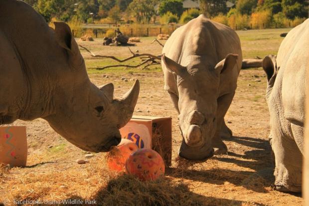 매일 오후 3시15분만 되면, 관람객을 보러 나오는 코뿔소들.