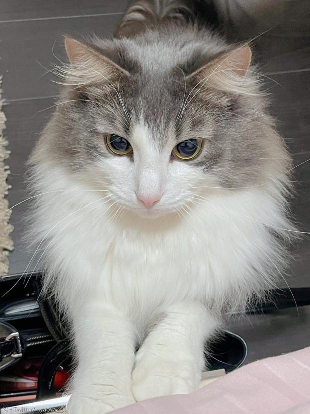 집사가 늦게 귀가했을 때, 투정 부리는 나오야. 고양이에게 사랑 받는 기분은 어떨까.