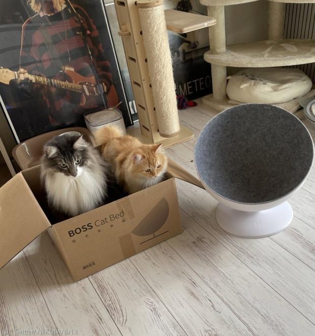 고양이 2마리 모두 새 침대 대신에 종이상자를 선택했다. 역시 고양이의 최애는 상자다. [출처: Twitter/ NEKOLAND13]